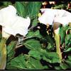 FRANKLIN CANYON DATURA/JIMSON WEED FLOWER 3D  COLOR INFRARED