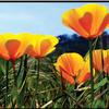 FRANKLIN CANYON RANCH CALIFORNIA POPPIES 3D