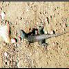 FRANKLIN CANYON RANCH LIZARD 3D