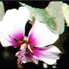 FRANKLIN CANYON LAKE LAVETERA FLOWER 3D
